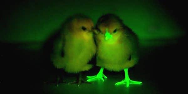 светящиеся цыплята